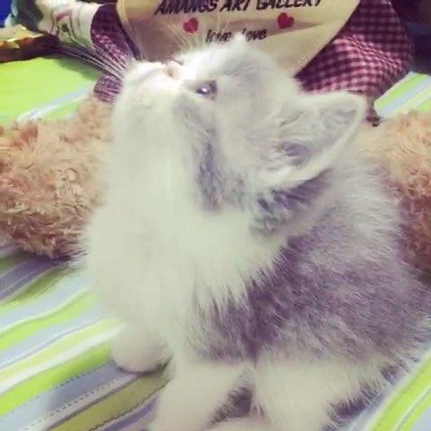 晚安##宠物##加菲猫#征集名字~超级黏人~#可爱猫咪
